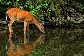 deer at water