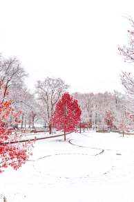 winter and red trees